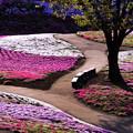 Photos: 朝の芝桜