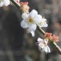 Photos: 春のかおり。