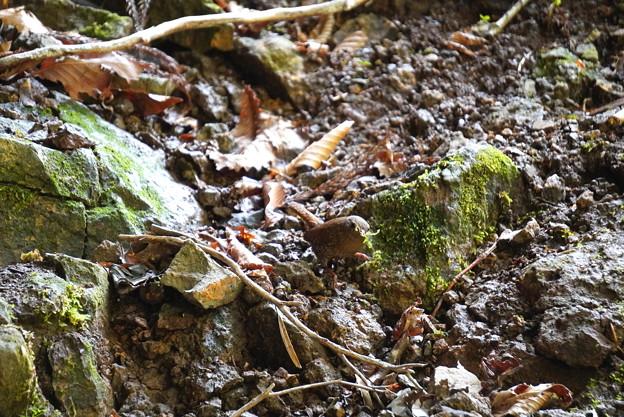 岩井滝のミソサザイ1
