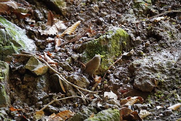 岩井滝のミソサザイ2