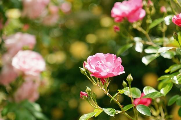 薔薇4 日向ぼっこ
