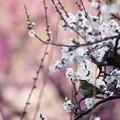 Photos: 白梅