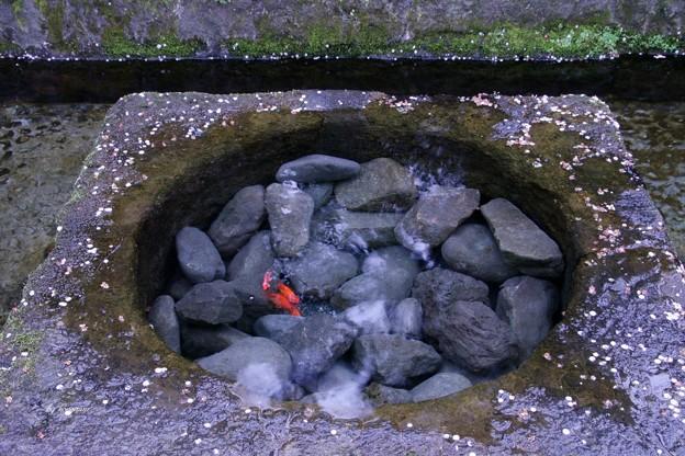 三嶋大社(湧水に居る金魚)