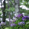 Photos: 森のあじさい