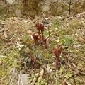 2月28日「山芍薬の芽」