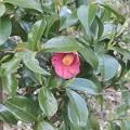 4月11日「藪椿」