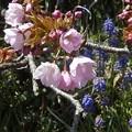 4月14日「一才桜」