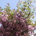 4月17日「花海棠」