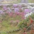 4月18日「芝桜」
