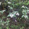 5月30日「卯の花」