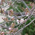 Photos: 桜開花2