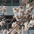 桜の密を狙って