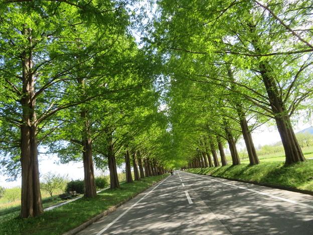 新緑のメタセコイア並木