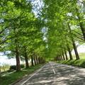Photos: 新緑のメタセコイア並木