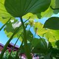 Photos: 蓮ジャングル♪