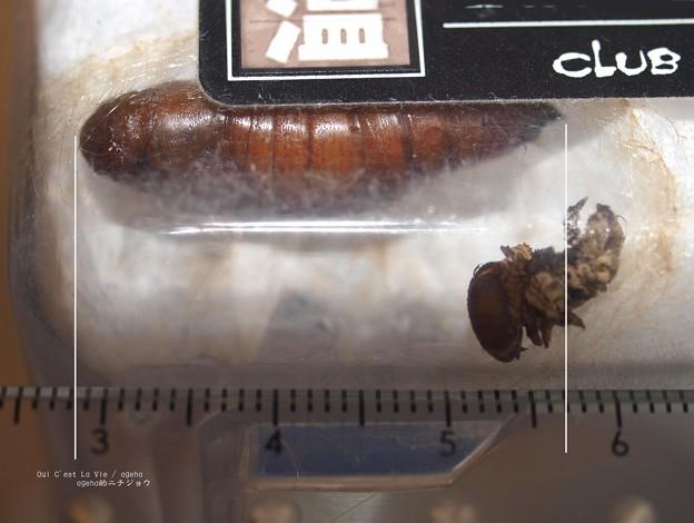 Photos: 測り方が下手すぎる。(オオスカシバ蛹)
