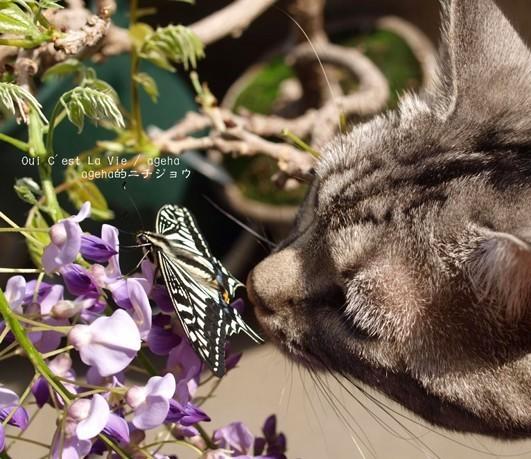 福島藤盆栽とネコと蝶。