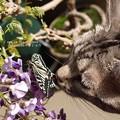 Photos: 福島藤盆栽とネコと蝶。