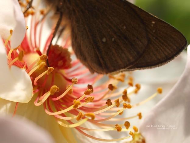 ジャクリーヌデュプレ一は花弁が綺麗。(チャバネセセリ飼育越冬)