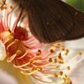 Photos: ジャクリーヌデュプレ一は花弁が綺麗。(チャバネセセリ飼育越冬)