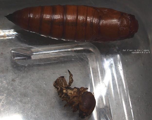 幼虫抜け殻と背中。(オオスカシバ飼育)