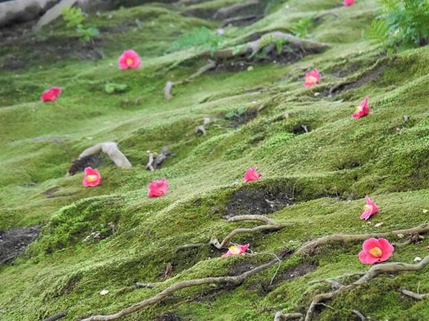 Photos: 苔に散った椿