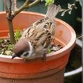 花壇で遊ぶ雀