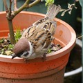 Photos: 花壇で遊ぶ雀