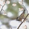 Photos: 豆桜とヒガラ