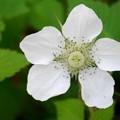 Photos: 白い花