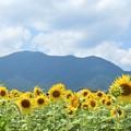 向日葵と野坂山