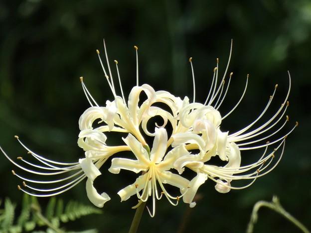Photos: 白花見つけました。