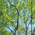 緑のモミジ