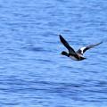 三方湖に飛ぶ水鳥
