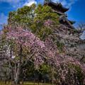 Photos: 桜山城
