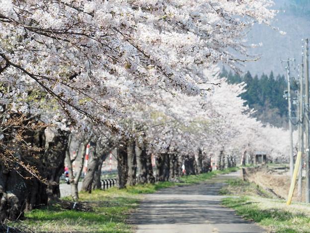 役内川 桜並木