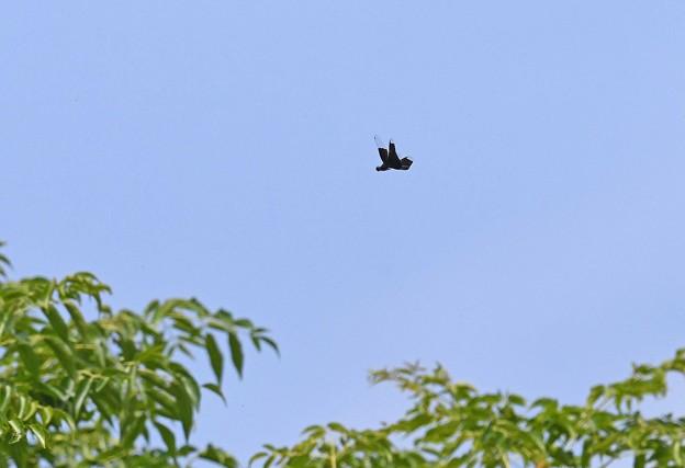 Photos: 高い栴檀の木の上を^^