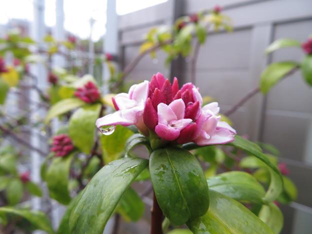 雨の中の沈丁花