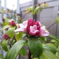 Photos: 雨の中の沈丁花