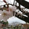 Photos: 咲き始めました~