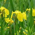 黄ショウブの5月