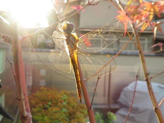Photos: 夕陽の中のトンボ