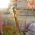 夕陽の中のトンボ
