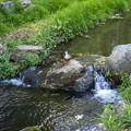 Photos: 小川の鴨
