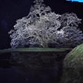 駒つなぎの桜2