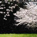 Photos: 桜吹雪2