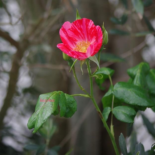 Photos: 雨上がりのバラ