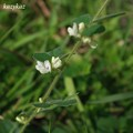 Photos: 白い萩
