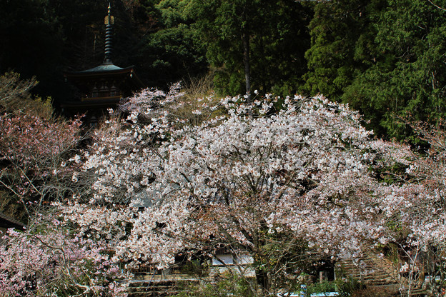 青龍寺の春(2)