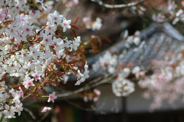 青龍寺の春(3)